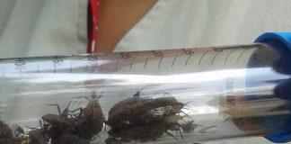 Doença de Chagas é transmitida pelas fezes do inseto barbeiro (Foto: IOC/Fiocruz/Divulgação)